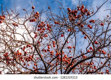 Japanese Persimmon (Diospyros kaki) in orchard, Abkhazia