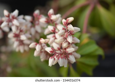 Japanese pieris Bonfire flowers - Latin name - Pieris japonica Bonfire