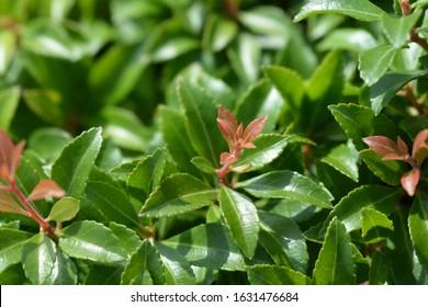 Japanese pieris Little Heath Green leaves - Latin name - Pieris japonica Little Heath Green