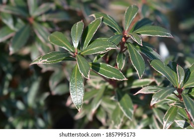 Japanese pieris Little Heath - Latin name - Pieris japonica Little Heath