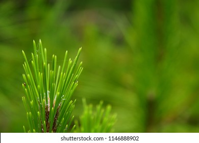 Japanese Pine Leaves