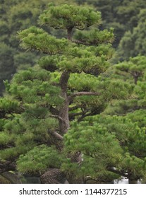 Japanese pine tree closeup