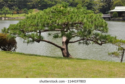 Japanese pine tree and garden near lake