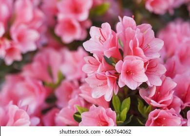 Japanese Pink Azalea