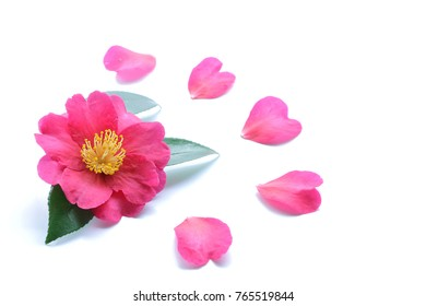 Japanese pink camellia flower isolated