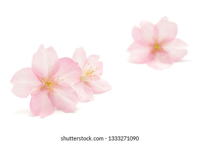 Japanese pink cherry blossom and petals isolated on white background
