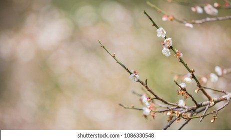 Japanese Plum Flower, Blooming Apricot trees, Apricot, Japanese Apricot garden, nature background, Blooming Chinese plum, Chinese Plum Flower, Blooming Japanese Apricot Flower, selective focus