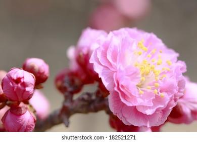 Japanese plum-blossom in Osaka Japan