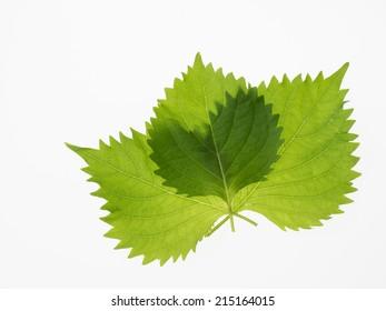 Japanese potherb Green Perilla_Shiso