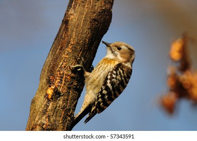 A Japanese Pygmy Woodpecker clinging to a tree trunk.