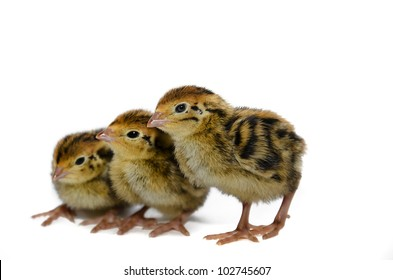 Japanese quail chicken species isolated on white background