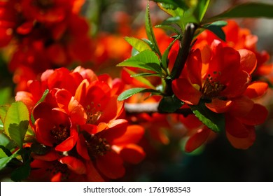 Japanese quince blooms in the garden. Beautiful quince flowers, red flowers, bush.