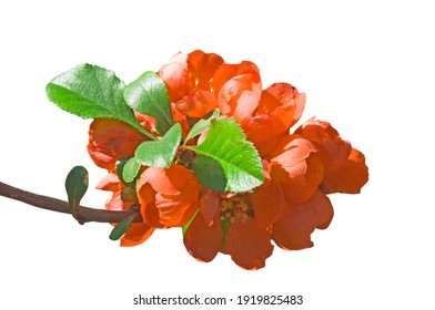 Japanese quince (Chaenoméles japónica) branches with orange flowers and green leaves on white isolated background close up