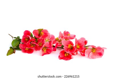 Japanese Quince (Chaenomeles japonica) in bloom on white background