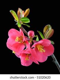 Japanese Quince (Chaenomeles) - Rosaceae
