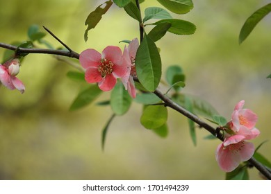 Japanese quince flowers blooming in spring park