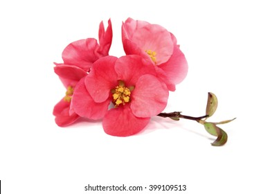 Japanese Quince flowers, isolated