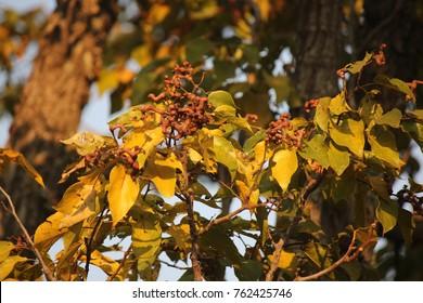 JAPANESE RAISIN LEAVES AND FRUIT IN GOLDEN LIGHT.jpg