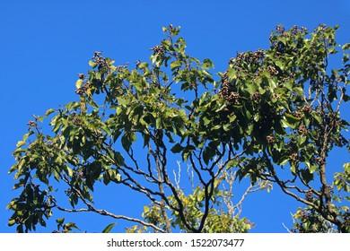 JAPANESE RAISIN TREE WITH FRUIT AGAINST A BLUE SKY