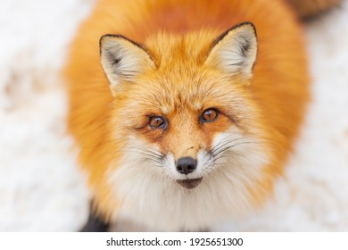 Japanese red fox resting, sleeping and playing in the white snow forest background in Japan