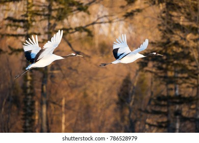 Japanese red head Tancho cranes flying and dancing in Kushiro, Hokkaido, Japan during winter