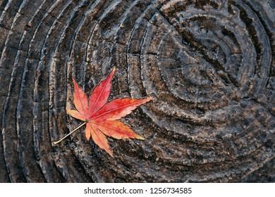 Japanese red leaf