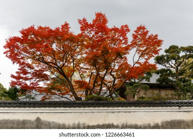 Japanese red leaves in autumn