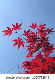 Japanese red maple leaves isolated on blue sky background