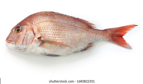 japanese red sea bream, Tai, Madai snapper, pagrus major isolated on white background