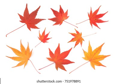 Japanese red yellow maple leaf isolated