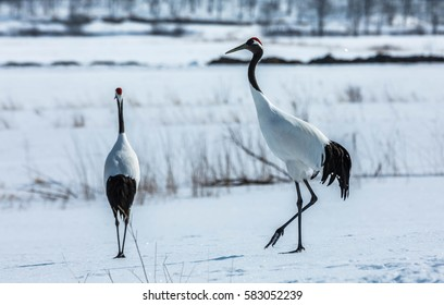 Japanese red-crowned crane (Grus japonensis)