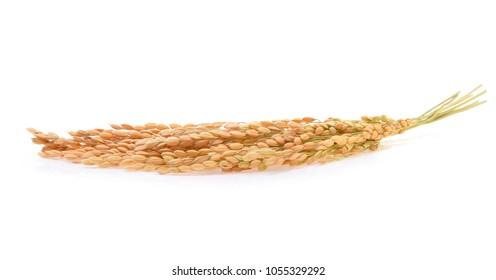 Japanese rice ears isolated on white background