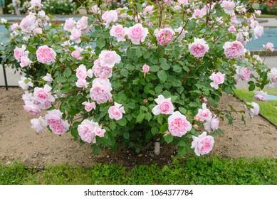Japanese rose - Helen