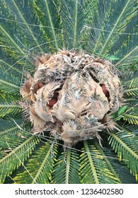 Japanese sago palm or Cycas revoluta, female reproductive structure.