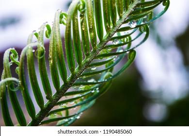 Japanese sako palm,sago cycad tree, king sago palm(Cycas revoluta) and dew drops
