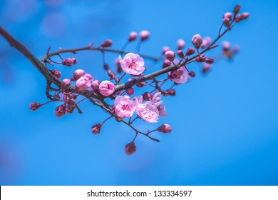 Japanese sakura blossoms. A branch of a blooming plum tree. Spring landscape. Close-up.