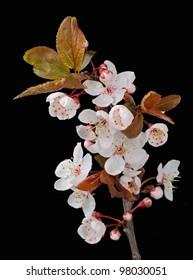 "Japanese ""Sakura"" Cherry Blossom (Prunus Serrulata) - Studio Image"
