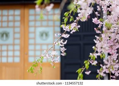 Japanese Sakura cherry blossoms in full bloom against a temple background in Kamakura, Japan
