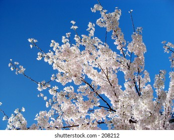 Japanese Sakura cherry blossoms on a spring day, back lit by the sun