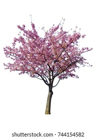 Japanese sakura flower, pink cherry blossoms tree on spring season isolated on white background.
