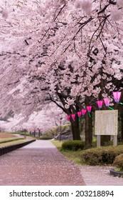 Japanese sakura and lantern