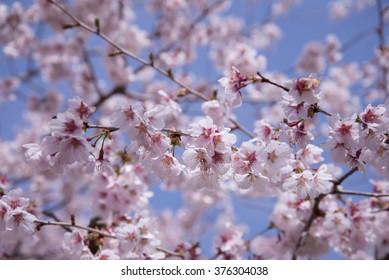 Japanese Sakura in Sunny day