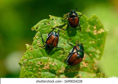 Japanese scarab beetles are invasive to North America and cause destruction to native plants.
