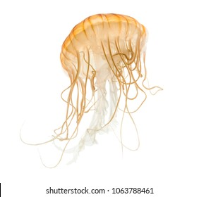 Japanese sea nettle, Chrysaora pacifica, Jellyfish against white background