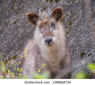 The Japanese serow (Capricornis crispus) is a Japanese goat-antelope, an even-toed ungulate mammal. It is found in dense woodland in Japan, primarily in northern and central Honshu.
