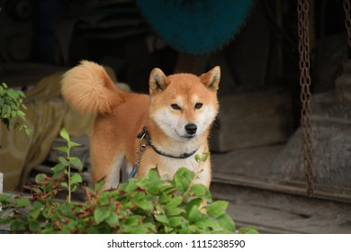 """Japanese shiba inu - Canis lupus familiaris. It is called """"Shiba"""" in Japan."""