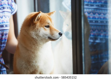 Japanese Shiba Inu dog near a window with the owner