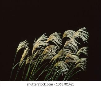 Japanese silver grass on the dark night