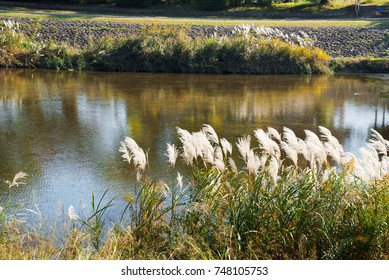 Japanese silver grass on the riverbank of the Kamo River, Kyoto, Japan, in autumn.