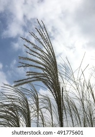 Japanese silver pampas grass with sky and cloud background